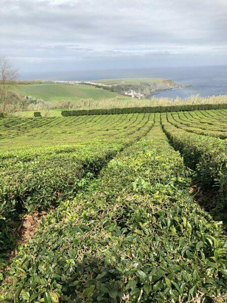 plantação chá verde dos açorese juice at home