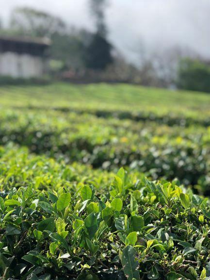 cha verde dos açores camellia sinensis